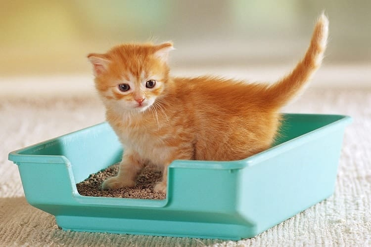 Kittens In Litter Box